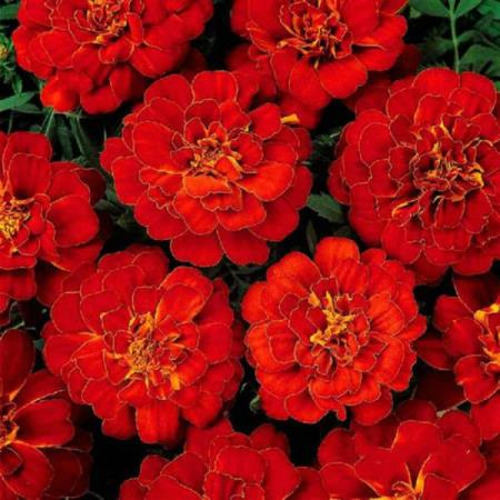MARIGOLD FRENCH -DOUBLE BROCADE RED